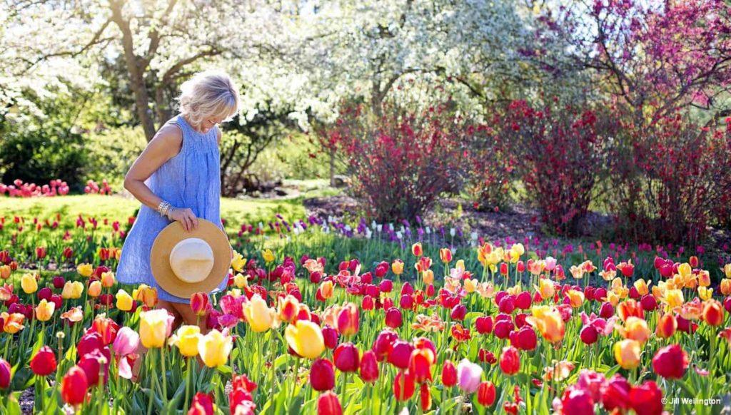 Tulpenblüte in Holland 1